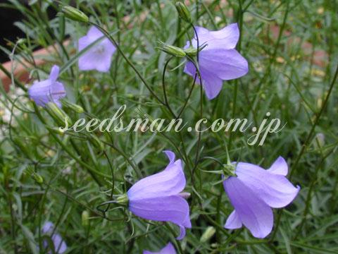 cam_rotundifolia030613.jpg