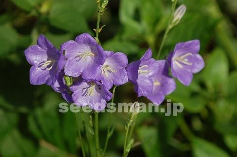 campanula_persicifolia060610-2.jpg