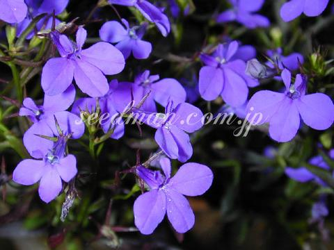 http://seedsman.jp/gardenblog/jpg-blue/lobelia_Crystalpalace020622-thumb.jpg