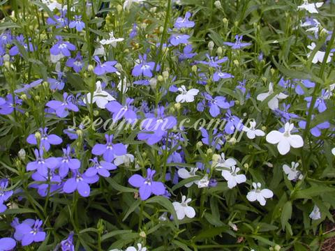 http://seedsman.jp/gardenblog/jpg-blue/loberia_pendulaCascade040624-thumb.jpg