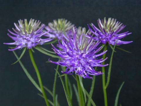 http://seedsman.jp/gardenblog/jpg-blue/phyteuma_scheuchzeri-thumb.jpg