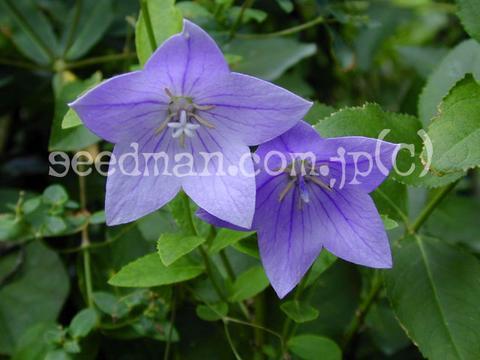 http://seedsman.jp/gardenblog/jpg-blue/platycodon_grandiflorum030812-thumb.jpg