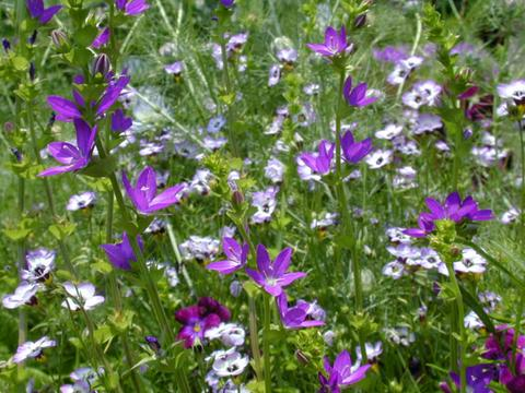 http://seedsman.jp/gardenblog/jpg-blue/specularia_perfoliata050527-thumb.jpg