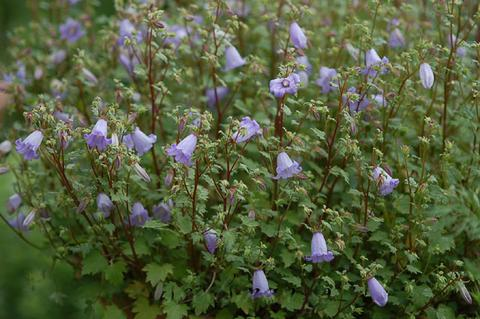 http://seedsman.jp/gardenblog/jpg-blue/symphyandra_zanzegra060517-thumb.jpg
