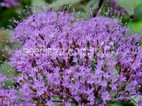 http://seedsman.jp/gardenblog/jpg-blue/trachelium_caeruleum020707-thumb.jpg