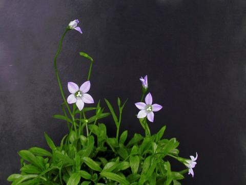http://seedsman.jp/gardenblog/jpg-blue/wahlenbergia_congesta3-thumb.jpg