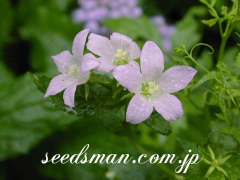 campanula_lactiflora020927.jpg