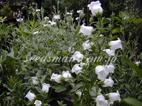 campanula_medium020517.jpg